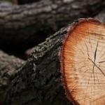 14 Спил деревьев 1) фото