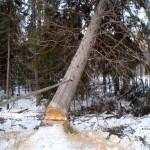 14 Спил деревьев 3) фото