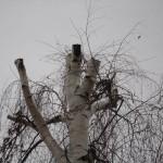 14 Спил деревьев 4) фото